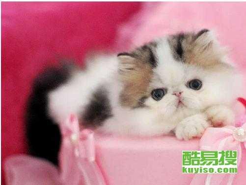 齊齊哈爾哪里有加菲貓 加菲貓多少錢 加菲貓照片 純