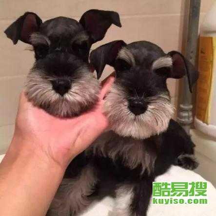 廣州本地正規犬舍,專業繁育純種雪納瑞幼犬